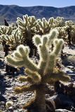 Cholla Cactus Garden Royalty Free Stock Photography