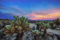 Cholla Cactus Garden In Joshua Tree National Park At Sunset Royalty Free Stock Photo