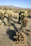 Cholla Cactus Garden in Joshua Tree. National Park Stock Images