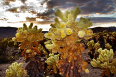 Cholla Cactus Garden Joshua Tree National Park Royalty Free Stock Photos