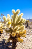 Cholla Cactus Garden Joshua in Tree national park Royalty Free Stock Photos