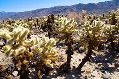Cholla Cactus Garden Joshua in Tree national park Royalty Free Stock Images