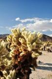 The Cholla Cactus Garden Stock Image