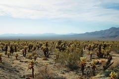 Cholla Cactus Garden in Joshua Tree National Park Stock Photo