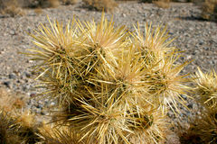 Cholla cactus garden in Joshua tree national park, California,Cy Stock Photography