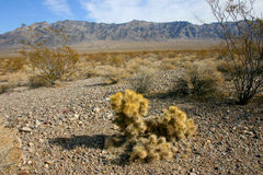 Cholla cactus garden in Joshua tree national park, California,Cy Stock Photo