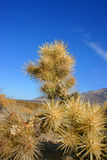 Cholla cactus garden in Joshua tree national park Royalty Free Stock Photos