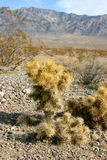 Cholla cactus garden in Joshua tree national park Royalty Free Stock Photo