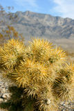 Cholla cactus garden in Joshua tree national park Stock Photos