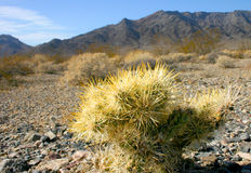 Cholla cactus garden in Joshua tree national park Stock Photography