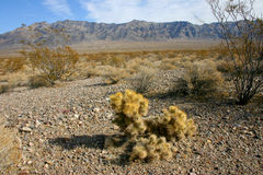 Cholla cactus garden in Joshua tree national park Stock Images