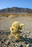 Cholla cactus garden in Joshua tree national park Royalty Free Stock Photography