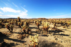 Cholla Cactus Garden at Joshua Tree National Park, California Stock Photo
