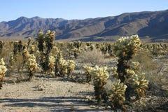 Cholla Cactus Garden in Joshua Tree National Park. USA Stock Photos