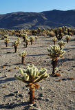 Cholla Cactus Garden, Joshua Tree National Park Royalty Free Stock Image