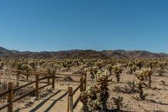 Cholla Cactus Garden at the Joshua Tree National Park, Southern California. Winter February royalty free stock image