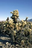 Cholla Cactus Garden in Joshua Tree National Park. USA Stock Photo