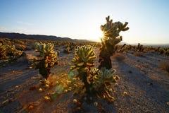 Cholla cactus garden Stock Photo