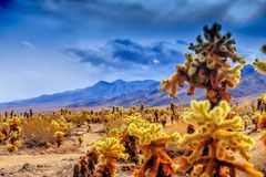 Cholla Cactus Garden in Joshua Tree Stock Photo