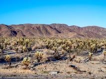 Cholla Cactus Garden Stock Images