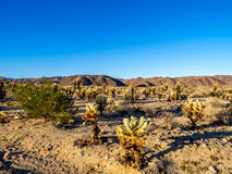 Cholla Cactus Garden Royalty Free Stock Images