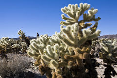 Cholla Cactus Garden Wide Royalty Free Stock Photography