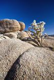 Cholla Cactus Joshua Tree National Park Stock Photos