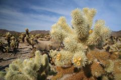 Cholla cactus in Joshua Tree National Park Stock Image
