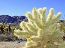 Cholla Cactus in Joshua Tree National Park Royalty Free Stock Photo