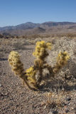 Cholla cactus in Joshua Tree National Park, Pinto Basin The yel Stock Photography