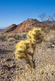 Cholla cactus in Joshua Tree National Park, Pinto Basin Stock Photos