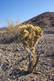 Cholla cactus in Joshua Tree National Park, Pinto Basin Royalty Free Stock Image