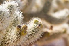 Cholla Cactus Royalty Free Stock Photo
