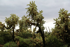 Cholla cactus Royalty Free Stock Image