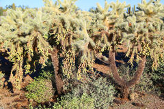 Cholla cactus Royalty Free Stock Photos