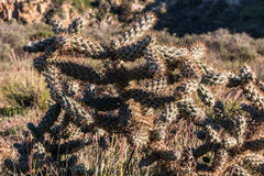 Cholla Cactus Plant Growing in Wilderness Stock Image