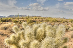 Cholla cactus in rugged desert Stock Photography
