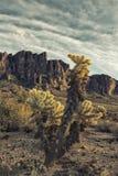 Cholla cactus in rugged desert Royalty Free Stock Photos