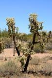 Cholla cactus Sonora Desert Arizona USA. Cholla cactus during bright summer day sonora desert Arizona USA royalty free stock photos