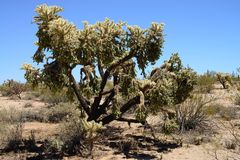 Cholla cactus Sonora Desert Arizona USA. Cholla cactus during bright summer day sonora desert Arizona USA stock image