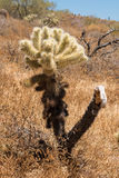 Cholla cactus in the Sonoran Desert Royalty Free Stock Images