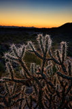 Cholla Cactus at Sunset Stock Photos