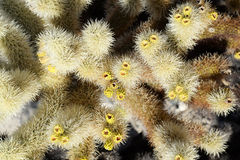 Cholla cactus up close Royalty Free Stock Image