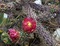 Cholla de Buckhorn na flor Imagens de Stock Royalty Free