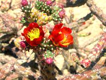 Cholla de salto na flor Imagens de Stock