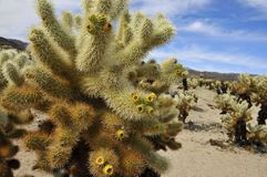 Cholla Garden in National Park Royalty Free Stock Photography