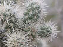 Cholla int he desert. Prickily desert thorns cactus closeup royalty free stock photos