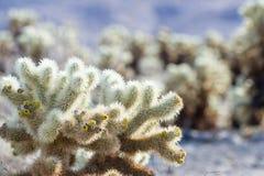 Cholla Kaktus Stockfotos