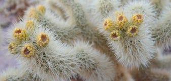 Cholla-Kaktus-alte Knospen - Panorama Stockfoto