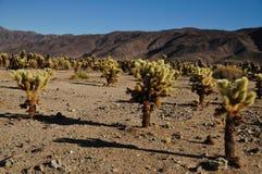 Cholla Kaktus in der Wüste Stockfotografie
